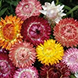 Sperli Blumensamen Strohblumen Mischung