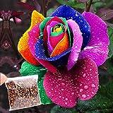 Edited 500pcs Regenbogen Rose Samen Einhornrose mehrjährig Bunte Rose Rosensamen Einfach Wachsen Hausgarten Pflanzensamen Geschenk für Verliebte