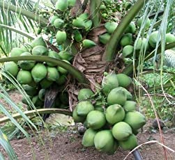 "M-Tech Gardens Dwarf Coconut""18th Patta"" Sprouted Seed Kerala Coconut Tree Seed Sprouted - 1 Qty."