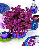 200 Stück Red Spearmint Mint Samen Essbare Katzenminze-Anlage Blumensamen Gemüsesamen Bonsai-Kraut-Samen Für Hausgarten Pflanze Nicht-GVO-1