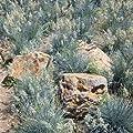 Blauschwingel Festuca glauca Ziergras im 2l Topf von Pflanzen für Dich auf Du und dein Garten