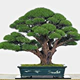 #3: Imported Cupressus Torulosa Bonsai Seeds -By Creative Farmer