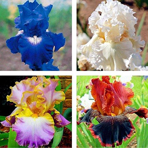 Soteer Garten - 50 Stück Sibirische Iris Samen Schwertlilien Körnigen Blumensamen Mehrjährige Hausgarten Pflanzen