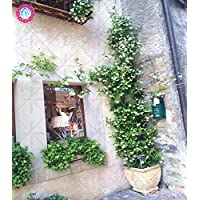 30pcs Weissen Jasmin Klettern Blumen Samen Duftend Pflanze Arabischer Hohe Qualitat Keimungrate Topf Plantiation Garten