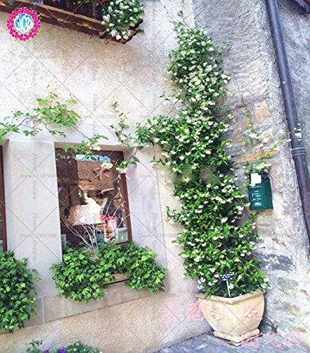 30pcs Weißen Jasmin Klettern Blumen-Samen duftend Pflanze arabischer hohe Qualität Keimungrate Topf plantiation Garten -