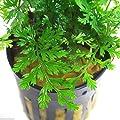 Bolbitis Wasserstern Topf Live Aquarium Pflanzen Mini Baby afrikanischen Farn von plantsfactory - Du und dein Garten