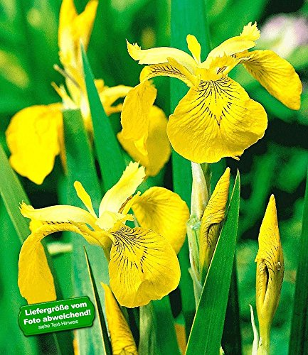 BALDUR-Garten Gelbe Schwertlilie (Iris pseudacorus), 3 Pflanzen Wasserpflanze Teichpflanze