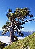 TROPICA - Cedro dell'Himalaya (Cedrus deodora) - 35 Semi- Resistente al freddo