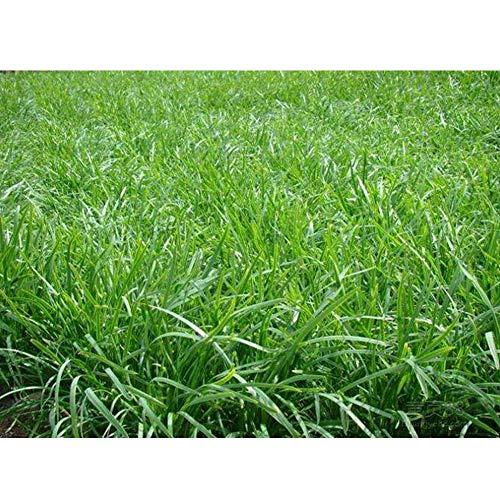 lujiaoshout 500 Pcs Prime Citronnelle Seeds Herb Seeds Facile à cultiver pour Le Jardin