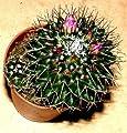 1 getopfter Kaktus für Terrarien und Fensterbänke, Topfpflanze, Kaktee von 2114 - Du und dein Garten