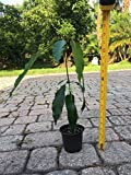 PLAT FIRM GERMINATIONSAMEN: Mango Tropical Fruit Tree Pflanze Bio-USA-VERKÃ