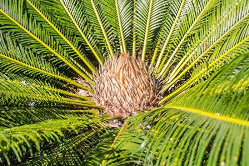 Thailändischer Palmfarn - 3 Samen - Cycas siamensis 'Dwarf Form' -