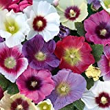Kings Seeds - Hollyhock Halo Mixed - 40 Seeds
