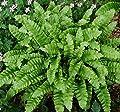 Hirschzungenfarn Crispa - Phyllitis scolopendrium von Baumschule auf Du und dein Garten