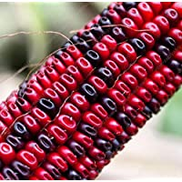 20 semillas de maíz dulce arco iris de cereales de grano de semilla de maíz vegetales de colores vegetales de alta calidad para el jardín de su casa