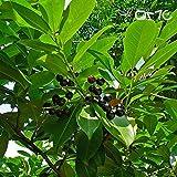 Farmerly (10 Samen) Prunus Laurocerasus/Lorbeer-Kirsche/Englisch Laurel