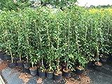 Hainbuche carpinus betulus, Buchenhecke topfgewachsen, Bestseller