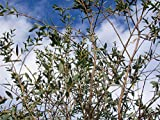 Asklepios-seeds® - Eucalyptus parvula 30 Samen (parvifolia) winterharter Eukalyptus bis -20°C, Rarität