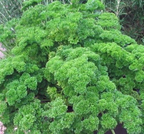 SEED, Persil MOSS recourbés, HEIRLOOM, BIO, NON OGM, 100 graines, GRAINES DE PERSIL