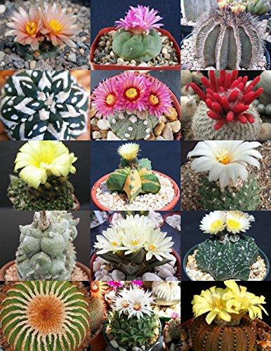 RARE CACTUS MIX plante rare floraison cactus exotique désert semences succulent 20 graines