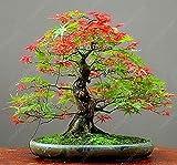 50 PC-Bonsai Ahorn-Samen Zier Bonsai-Baum-Samen Seltene japanische Ahornsamen Balkonpflanzen für DIY Hausgarten Lila