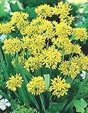 50 Allium Moly Zierlauch Blumenzwiebeln
