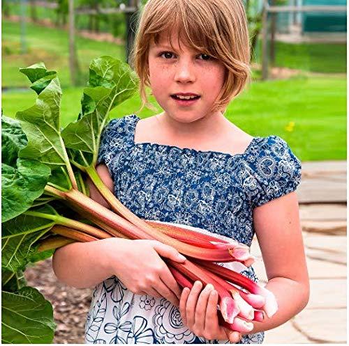 Tomasa Samenhaus- 100 Stück Bio Rhabarber Frambozen Rood, Pflanzgut Gemüse Saatgut winterhart mehrjährig Gemüsesamen für Garten Balkon