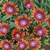 lichtnelke - Mittagsblümchen (Delosperma 'Sundella Apricot')