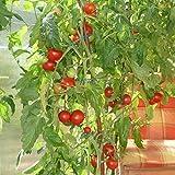 10 Samen Siberian Tomate – kältetolerant, kurze Reifezeit