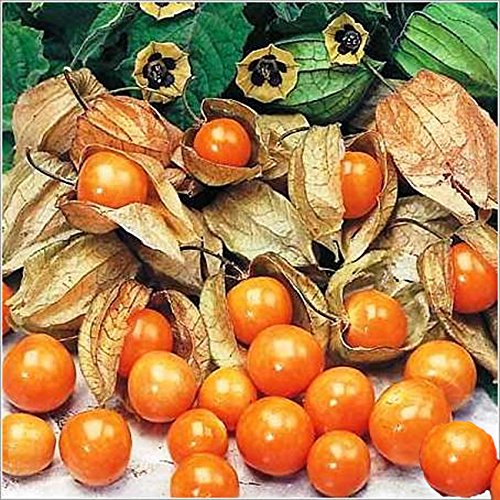 live-seeds-fruit-oriental-unusual-giant-cape-gooseberry-approx-35-commercial-grade-seeds
