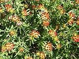 Staudenkulturen Wauschkuhn Anthyllis vulneraria ssp. coccinea - Wundklee - Staude im 9cm Topf