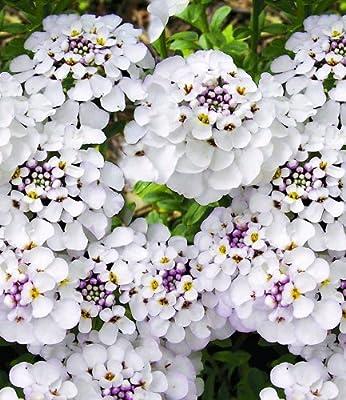BALDUR-Garten Winterharter Bodendecker Iberis Schleifenblume 'Masterpiece®', 3 Pflanzen von Baldur-Garten - Du und dein Garten