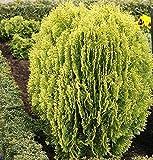 Gelber Zwerglebensbaum 40-50cm - Thuja occidentalis