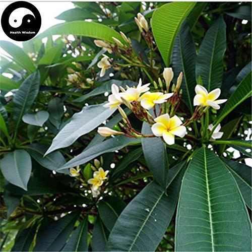 Kaufen Plumeria Rubra Baumsamen 60pcs Pflanze Yolk Blume für Ei-Blumen