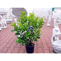 Edel - Kirschlorbeer Etna ® Containerpflanzen 40-60 cm