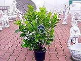 Edel - Kirschlorbeer Etna ® Containerpflanzen 60-80 cm