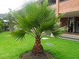 Lifestyle-Hamburg Pflanzenraritäten Washingtonia robusta Zimmerpalme Büropalme 130-150 cm. Eine der schnellwachsendsten Palmen der Welt