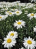 Chrysanthemum maximum Gruppenstolz - Sommer-Margerite Preis nach Stückzahl 3 Stück