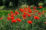 Klatschmohn 3000 Samen Papaver rhoeas (Red Field Poppy)