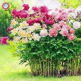 10 pcs color mezclado doble Blooms Peony semillas de la herencia Peony Semillas Semillas Bonsai perenne de flores de plantas de flores de jardín