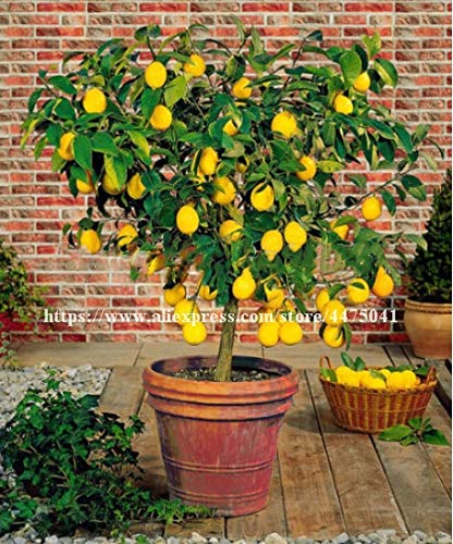soniry 100 pz citrus pianta dei bonsai nano mandarino limone bonsai edible fruit tree camera calce impianto casa sana giardino facile da coltivare: 40pcs-limone
