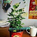 200 PCS Spearmint Mint Seeds Edible Mint...