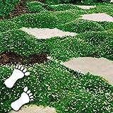 Xianjia Garten - Sternmoos Ziergras Saatgut Rasensamen immergrün Grassamen Teppich Bodendecker Polsterstaude robust winterhart mehrjährig (20)