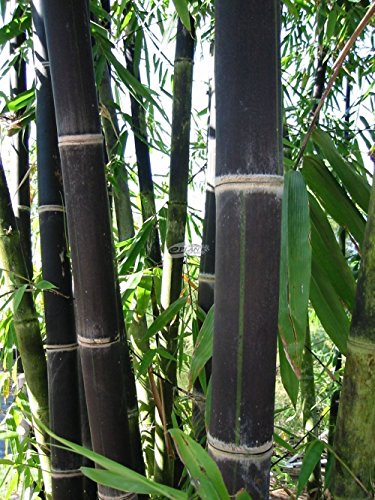100 graines de bambou noir Phyllostachys Nigra frais