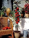Dominik Blumen und Pflanzen, Säulenapfel, Apfelbaum