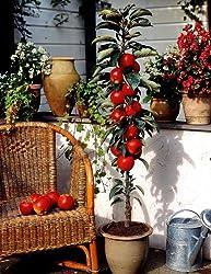 Dominik Blumen Und Pflanzen, Säulenapfel Rotbäckchen (Syn Mcintosh®), 1 Pflanze
