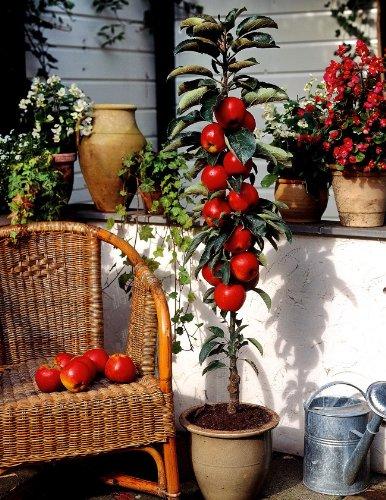 """Dominik Blumen und Pflanzen, Säulenapfel, Apfelbaum """"Rotbäckchen"""" (auch """"McIntosh""""), 1 Pflanze, ca. 60 - 80 cm Stamm, 5 - 7 Liter Container , plus 1 Paar Handschuhe gratis"""