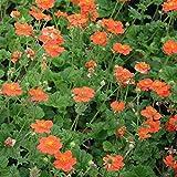 Foerster-Staude Nelkenwurz Borisii im 4er-Set rot blühend Staude Sonne-Halbschatten Geum coccineum im 0,5 Liter Topf 4 Pflanzen