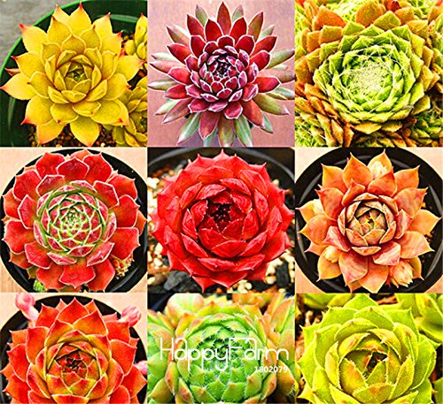 Bestseller Start Gartenpflanze 10 Samen Seltene Sempervivum Mix Sukkulenten Samen Blumen für Zimmer, Bonsai Topfpflanzen * Geschenk, # SGOSY