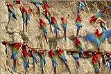Posterlounge Cuadro de PVC 180 x 120 cm: Aras in Manu National Park, Peru de Mint Images/Mauritius Images